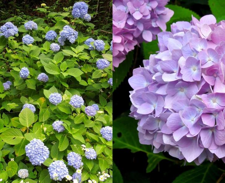 山に咲く紫陽花の美しかったこと