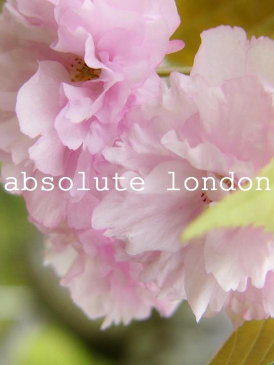 ablon #33 sakura