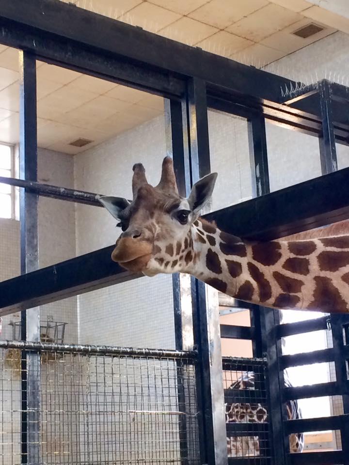 giraffe_image