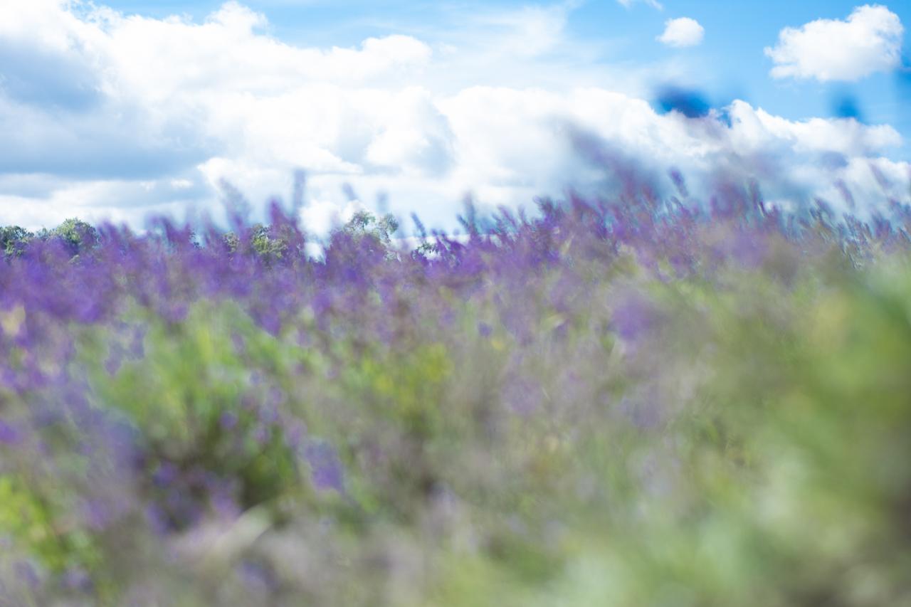 lavender_0218