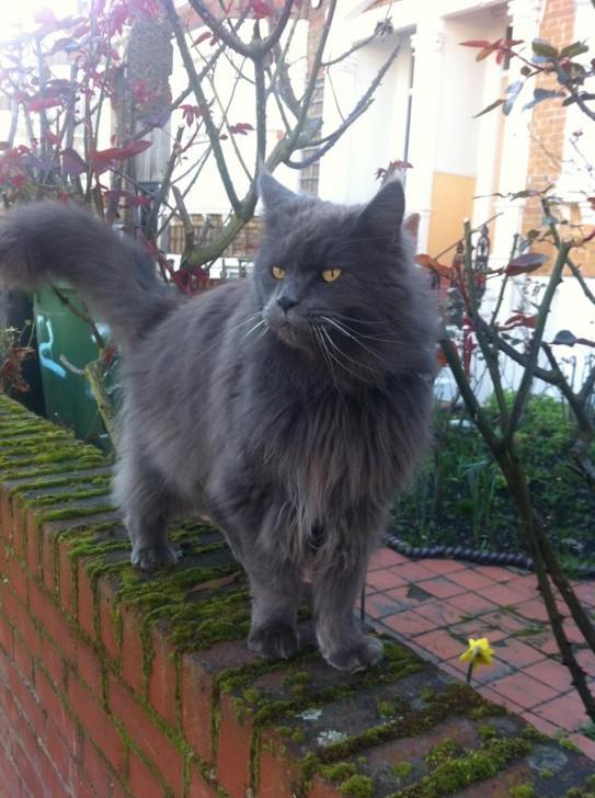 ある日突然、うちの目の前のストリートに現れ、2日ほどウロウロしていた巨大な猫。写真だと大きさが分かりにくいかもですが、中型犬ぐらいの大きさはありました。しかもこの強面。いつも怒っているかのような表情をしていますが、実は性格は人なつこく、かわいらしいのでありました。