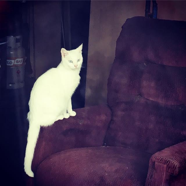 ロンドンから電車で約2時間、英国南東部の街Margateで見かけた、とっても綺麗な真っ白な猫。工務店のような店のソファにちょこんと腰掛けている姿が、くたびれた雰囲気の店内には似つかわしくなく、エレガントに光り輝いているかのようで、一瞬まるで妖精でも見たかのような錯覚に陥りましたよハイ。