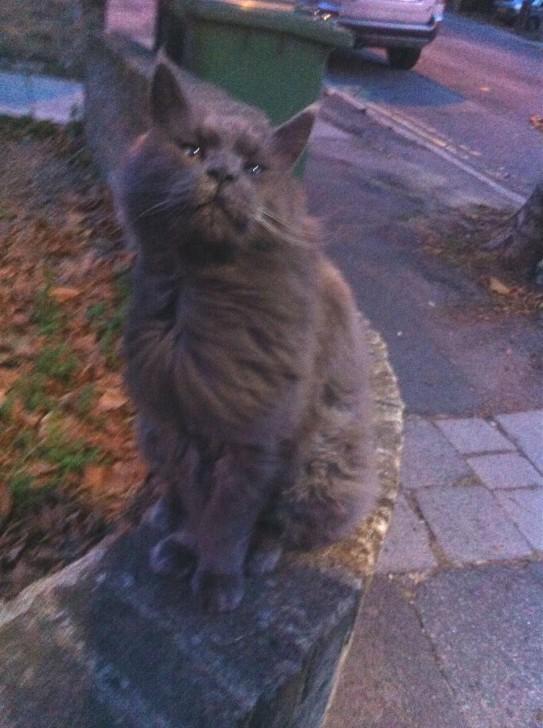 ゴージャスなシルバーグレーの毛皮をまとったこの子とは、家のすぐ近所を散歩している時に出会いました。前回紹介したジャイアント・キャットと似ていますが、体がひと回り小さい、別の猫です(家族かもですが)。ブリティッシュ・ショートヘアとロングヘアの合いの子か、チャンティリーという種類でしょうか。いつも怒ったような顔をしているけれど、別に怒っているわけではないようで、その証拠に声をかけるとこうやって潤んだ瞳で見つめ返してきたりして。ブリティッシュ・ショートヘアは本来、賢く落ち着いていて愛情深い猫だそうなので、納得です。
