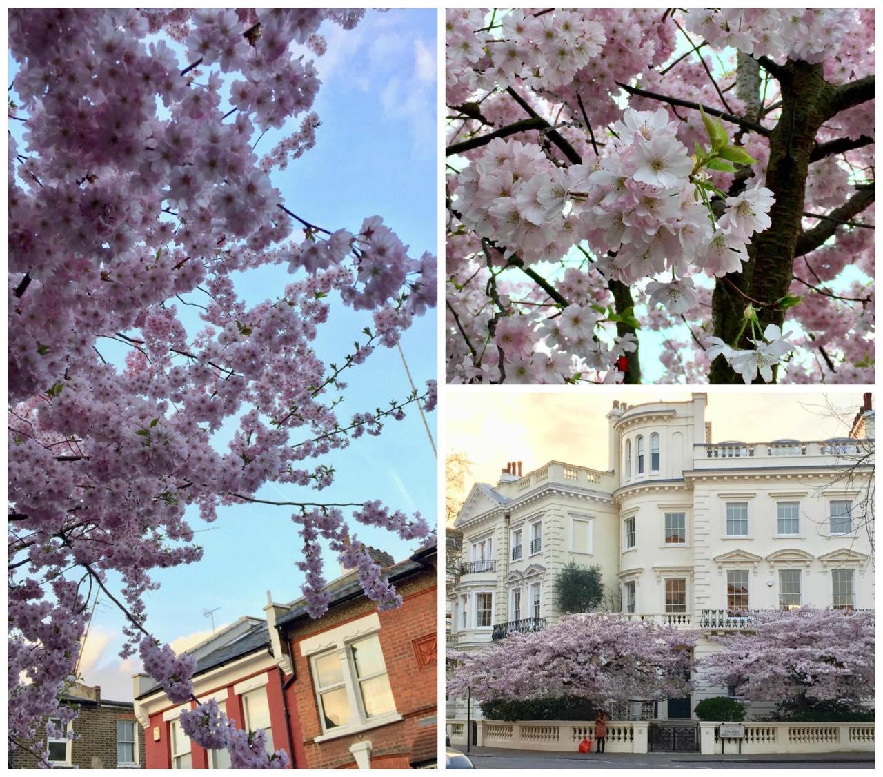 北ロンドンから西にかけてのお花風景。桜だと思うんですが・・・花にはあまり詳しくなく ^^;   ロンドンはアーモンドの花が多いのですが、これは桜かな??