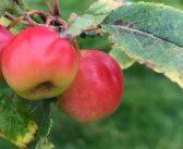 英国らしい秋の果物ナンバーワンはこれ